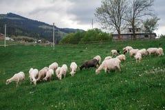 De schapenweiland van de ochtendberg Stock Afbeelding