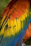 De scharlaken Ara bevedert dicht omhoog stock fotografie