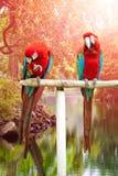 De scharlaken ara's streken op een houten post neer genietend van de warmte van de avondzon Royalty-vrije Stock Foto