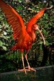 De scharlaken ibis spreidt vleugels uit Stock Foto