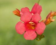 De scharlaken rode bloei van de Trompetklimplant royalty-vrije stock foto