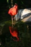 De scharlaken tribunes van Eudocimus van de Ibis ruber op een boomtak stock foto