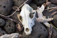 De schedel en de beenderen van het hondskelet Royalty-vrije Stock Foto