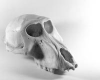 De schedel van de aap Stock Afbeelding