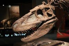 De schedel van de dinosaurus royalty-vrije stock afbeelding