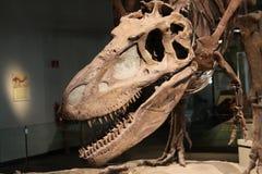 De schedel van de dinosaurus stock fotografie