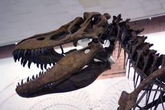 De schedel van de dinosaurus Stock Foto