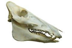 De schedel van de dinosaurus Stock Foto's