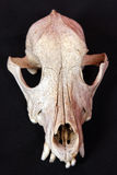 De schedel van de hond Stock Afbeeldingen