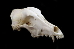De schedel van de hond Stock Foto