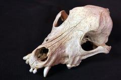 De schedel van de hond Royalty-vrije Stock Afbeeldingen
