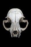 De schedel van de kat Stock Foto
