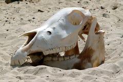 De schedel van de koe Stock Fotografie