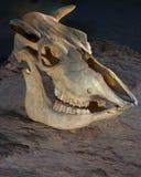 De schedel van de koe Stock Afbeeldingen