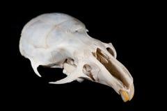 De schedel van de muis Royalty-vrije Stock Foto's