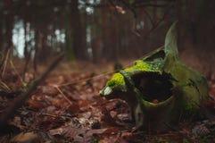 de schedel van een dood dier in het hout, Royalty-vrije Stock Afbeelding