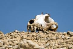 De schedel van een hond ligt op een heuveltje tegen een blauwe hemelachtergrond Royalty-vrije Stock Foto's