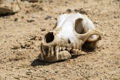 De schedel van een hond met een bundel van wol op de top ligt op de grond en knaagt aan bij de steen Stock Fotografie