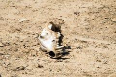 De schedel van een hond met de overblijfselen van wol ligt aan zijn kant in de woestijn Royalty-vrije Stock Afbeelding