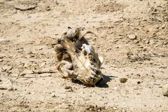 De schedel van een hond met de overblijfselen van een wol ligt gehemelte tot de bovenkant Stock Foto
