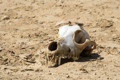 De schedel van een hond met de overblijfselen van wol ligt op de grond in de woestijn Stock Fotografie
