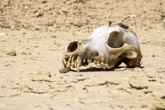 De schedel van een hond met de overblijfselen van wol ligt op de grond in de woestijn Royalty-vrije Stock Fotografie