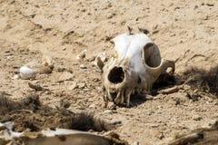 De schedel van een hond met de overblijfselen van wol ligt op de grond in de woestijn Royalty-vrije Stock Foto's