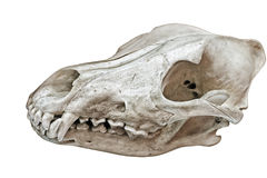 De schedel van het monster Stock Foto's