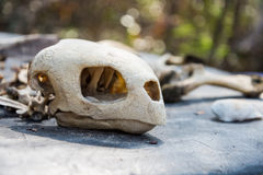 De schedel van het schildpadbeen Royalty-vrije Stock Afbeeldingen