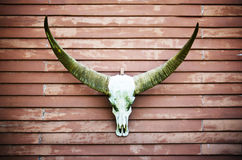 De schedel van Longhornbuffels Stock Foto