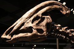 De schedel van Parasaurolophus Stock Afbeelding