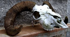 De Schedel van schapen Stock Afbeeldingen