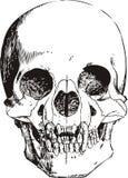 De schedelillustratie van de vampier Stock Foto