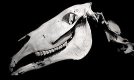 De schedelprofiel van het paard dat op zwarte wordt geïsoleerde Royalty-vrije Stock Afbeeldingen