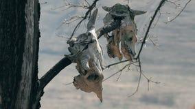 De schedels hangen in de bomen stock footage