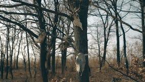De schedels hangen in de bomen stock video