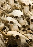 De Schedels van buffels stock afbeelding