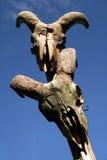 De schedels van de geit Stock Fotografie