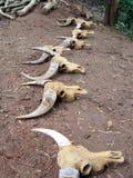 De schedels van koeien en stieren liggen op de grond - totemsymbolen, amuletten en amuletten stock afbeeldingen