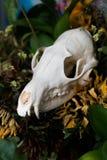 De schedelvos in een boeket van bloemen verwelkte zonnebloemboeket Royalty-vrije Stock Afbeelding