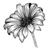 De schets van de bloemchrysant Royalty-vrije Stock Fotografie