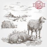 De schets van het schapenfokken Stock Foto