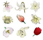 De schetsinzameling van de bloem Stock Afbeelding