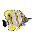 De schetsvector van vissenacanthur vector illustratie