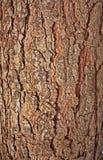De schil van de pijnboom Stock Afbeeldingen