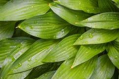 De schilderachtige heldergroene Gastheer van de tuininstallatie na de regen stock foto's