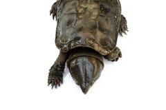 De schildpad 'Platysternon-megacephalum 'op een witte achtergrond, is een zoetwaterschildpad, vleesetend, Platysternon-megacephal royalty-vrije stock foto's
