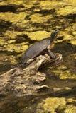 De schildpad Royalty-vrije Stock Afbeelding