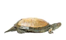 De schildpad Royalty-vrije Stock Fotografie