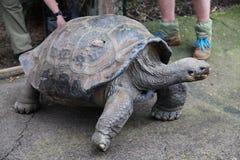 De Schildpad @ Australisch Reptielpark van de Galapagos royalty-vrije stock fotografie